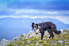 De hond bij de bovenkant van de berg stock foto's