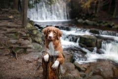 De hond bij de waterval Huisdier op aard buiten het huis Weinig profiel van de rivierhond stock foto