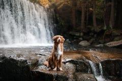 De hond bij de waterval Huisdier op aard buiten het huis Weinig profiel van de rivierhond stock fotografie
