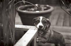 De hond bijt Planter Stock Foto's