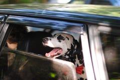 De hond dalmatian in een rode vlinderdas kijkt uit het venster van auto royalty-vrije stock afbeeldingen