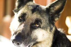 De hond van de herder Royalty-vrije Stock Afbeeldingen