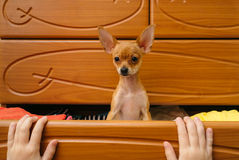 De hond die in de borst verborg Stock Fotografie