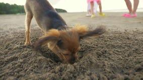 De hond die een gat in het zand graven stock footage
