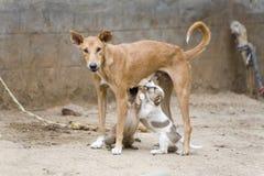 De hond die het is jong verzorgt Royalty-vrije Stock Fotografie