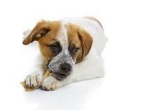 De hond die ongelooide huid eten behandelt Stock Foto