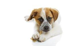 De hond die ongelooide huid eten behandelt Royalty-vrije Stock Afbeeldingen