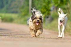 De hond die of op weg lopen lopen Stock Foto's