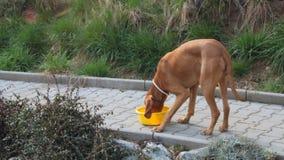 De hond die uit zijn kom, hond eten eet korrels, Hongaarse Wijzer stock videobeelden