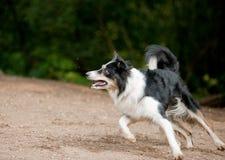 De hond die van border collie op het gazon lopen stock afbeelding