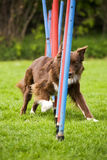 De hond die van de behendigheid slalom doet stock afbeelding
