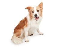 De Hond die van de Collie van de grens Kijkend Gelukkig kijkt Royalty-vrije Stock Afbeeldingen