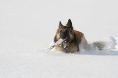 De hond die van de herder in de sneeuw loopt stock foto