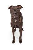 De Hond die van de labradorkruising zich over Wit bevinden Stock Afbeeldingen