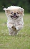De hond die van de pekinees zeer snel loopt Stock Afbeeldingen