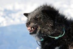 De hond die van de slee, Oost-Groenland snauwt Stock Afbeelding