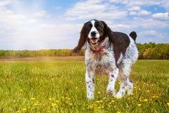 De Hond die van het aanzetsteenspaniel op Gebied lopen Stock Foto's