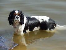 de hond die van de hondslaap in het meer zwemmen royalty-vrije stock afbeeldingen