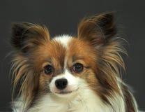 De hond die van Papillon camera bekijkt Stock Afbeeldingen