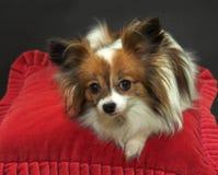De hond die van Papillon op rood kussen rust Royalty-vrije Stock Foto's