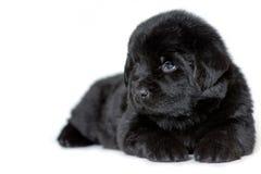 De hond die van puppynewfoundland en, op een witte achtergrond zijdelings liggen kijken een plaats voor een etiket stock afbeelding