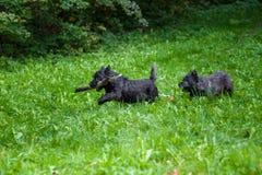 De Hond die van steenhoopterrier op het gras met tak in Mond lopen Stock Foto