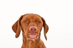 De Hond die van Vizsla uit zijn Tong plakt Royalty-vrije Stock Fotografie