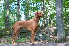 De Hond die van Vizsla zich op een Logboek bevindt Stock Foto