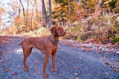 De Hond die van Vizsla zich op een Weg in de Herfst bevindt Royalty-vrije Stock Foto