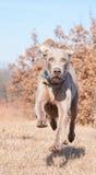 De hond die van Weimaraner bij volledige snelheid loopt Royalty-vrije Stock Foto