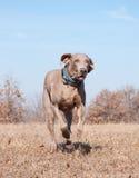 De hond die van Weimaraner bij volledige snelheid loopt Stock Foto