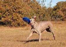 De hond die van Weimaraner met een frisbee loopt Stock Afbeeldingen