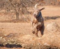 De hond die van Weimaraner over een groot logboek springt Stock Afbeeldingen