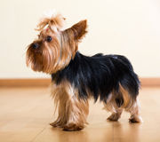 De hond die van Yorkshire Terrier op vloer blijven Royalty-vrije Stock Afbeeldingen