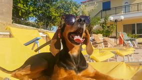 De hond die zonnebril dragen lounged in chaises door de pool stock videobeelden