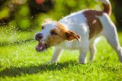 De hond drinkt water, nevel Stock Foto's