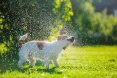 De hond drinkt water, nevel Royalty-vrije Stock Afbeeldingen