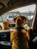 de hond in een auto kijkt uit het venster stock afbeelding