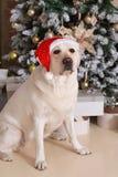 De hond in een Kerstmanhoed zit onder een Kerstmisboom Royalty-vrije Stock Foto's
