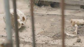 De hond eet een menselijke schedel stock video