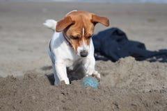 De hond en de bal van Jack Russell op het strand Royalty-vrije Stock Afbeeldingen