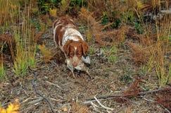 De hond en de houtsnip van het spaniel Stock Foto's