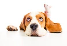 De hond en de rat kijken in bovenkant Royalty-vrije Stock Afbeeldingen