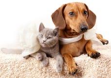 De hond en het katje van de tekkel Stock Foto's