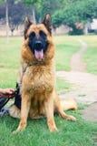 De hond en het tennis van de Duitse herder Stock Afbeelding