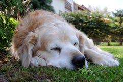 De hond Falco van de fee Stock Fotografie