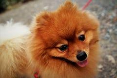 De hond is gelukkige mooie familie van huisdieren brow de leuke dierlijke Thailand Azië Royalty-vrije Stock Fotografie