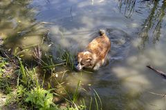 De hond geniet van het koele water van het meer op een hete de zomerdag royalty-vrije stock fotografie
