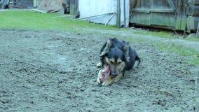 De hond heeft een been in de werf in het dorp stock video