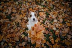 De hond houdt de herfstbladeren in zijn poten De stemming van de herfst Vele roze en magenta asters huisdier in het park Gelukkig royalty-vrije stock afbeelding